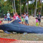Paus Sepanjang 5 Meter di Pantai Tolotio Dikuburkan, Tubuhnya Dipotong-Potong